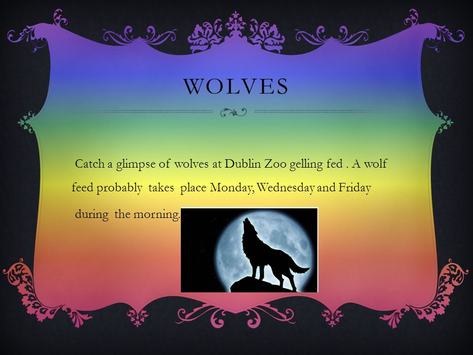 WOLVES Catch a glimpse of wolves at Dublin Zoo gelling fed.