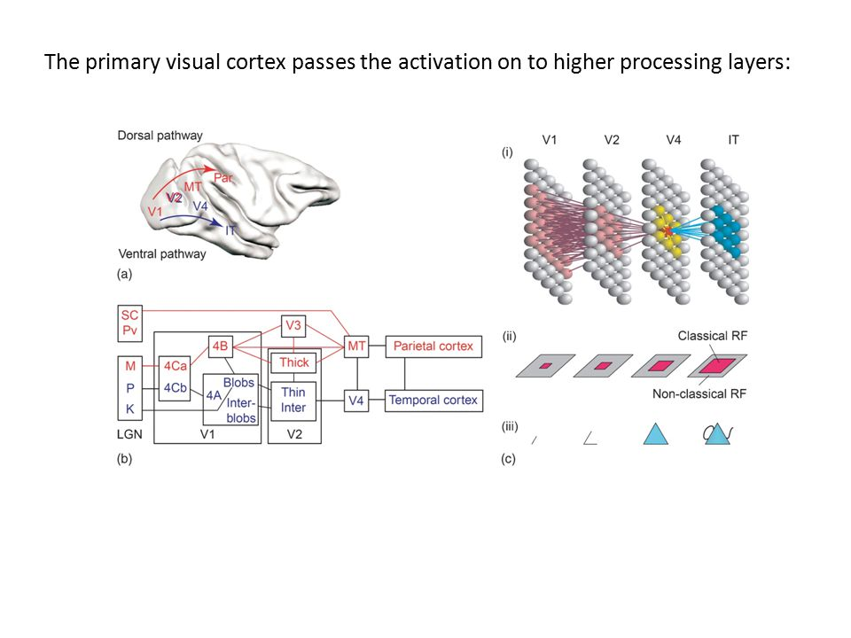 The primary visual cortex passes the activation on to higher processing layers: