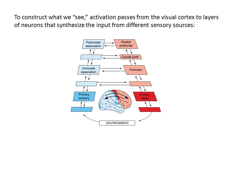 """To construct what we """"see,"""" activation passes from the visual cortex to layers of neurons that synthesize the input from different sensory sources:"""