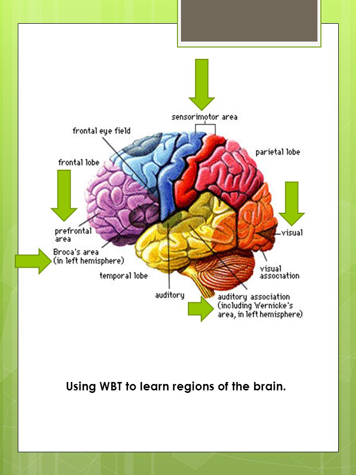 Using WBT to learn regions of the brain.