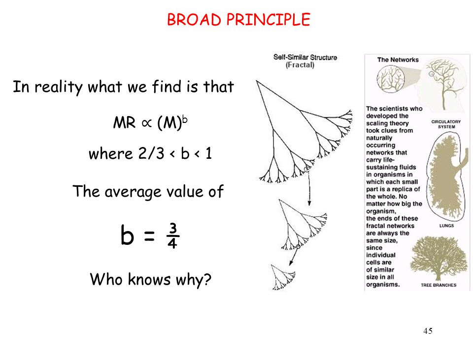 BROAD PRINCIPLE In reality what we find is that MR ∝ (M) b where 2/3 < b < 1 The average value of b = ¾ Who knows why.