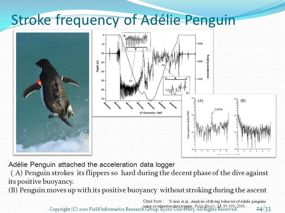 Stroke frequency of Adélie Penguin Adélie Penguin attached the acceleration data logger ( A) Penguin strokes its flippers so hard during the decent phase of the dive against its positive buoyancy.