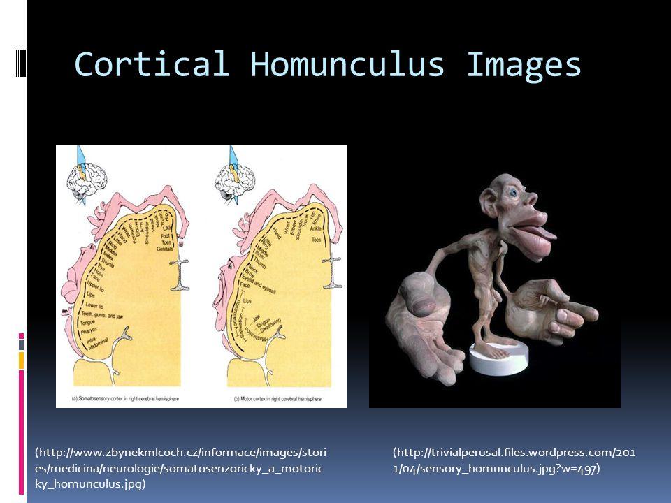 Cortical Homunculus Images (http://trivialperusal.files.wordpress.com/201 1/04/sensory_homunculus.jpg?w=497) (http://www.zbynekmlcoch.cz/informace/ima