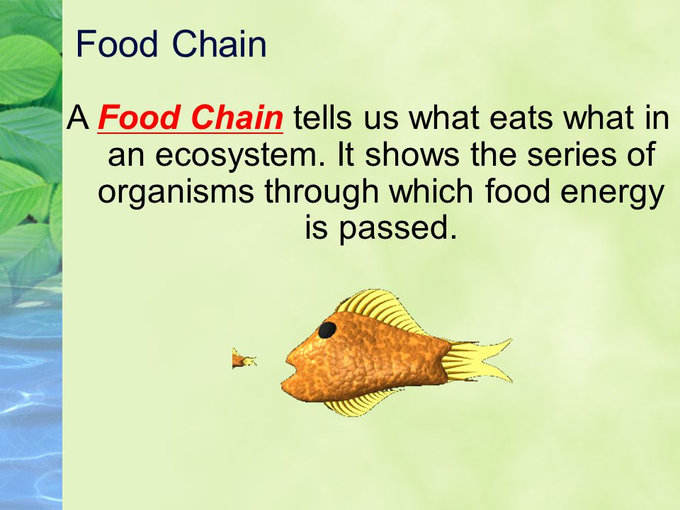 Food Chain A Food Chain tells us what eats what in an ecosystem. It shows the series of organisms through which food energy is passed.