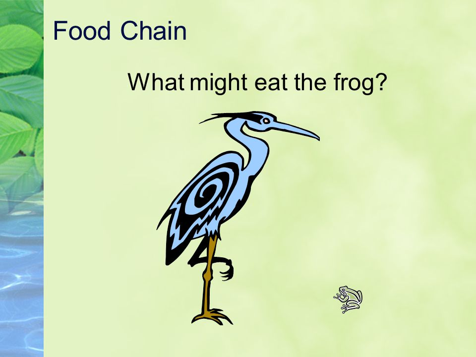 Food Chain What might eat the frog?