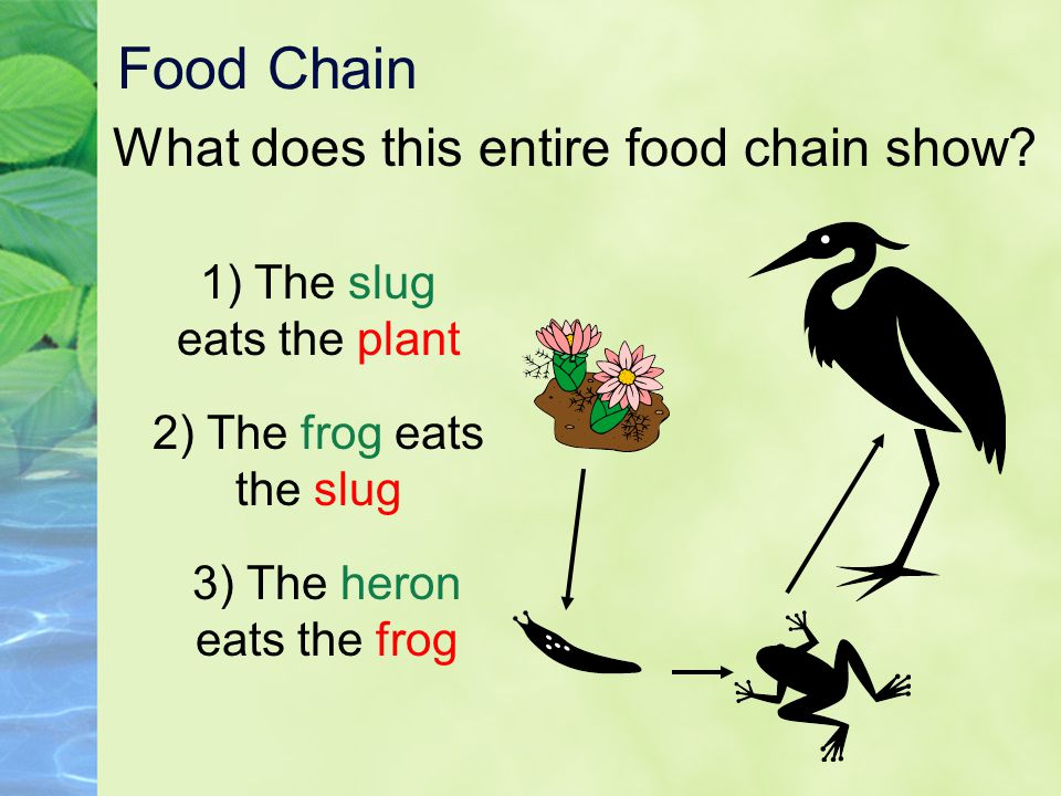 Food Chain What does this entire food chain show? 1) The slug eats the plant 2) The frog eats the slug 3) The heron eats the frog