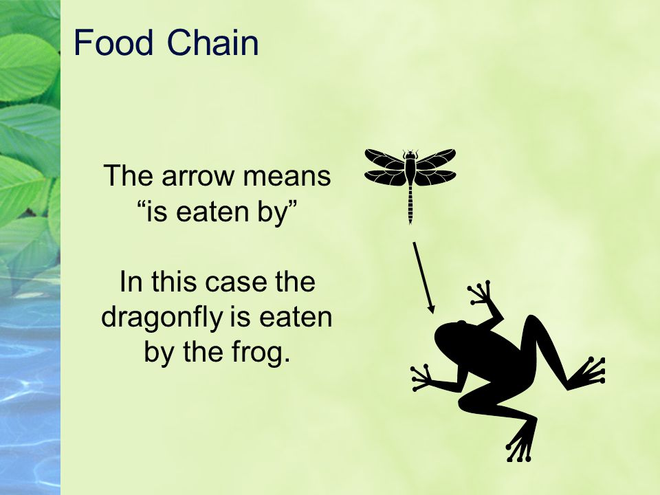 """Food Chain The arrow means """"is eaten by"""" In this case the dragonfly is eaten by the frog."""