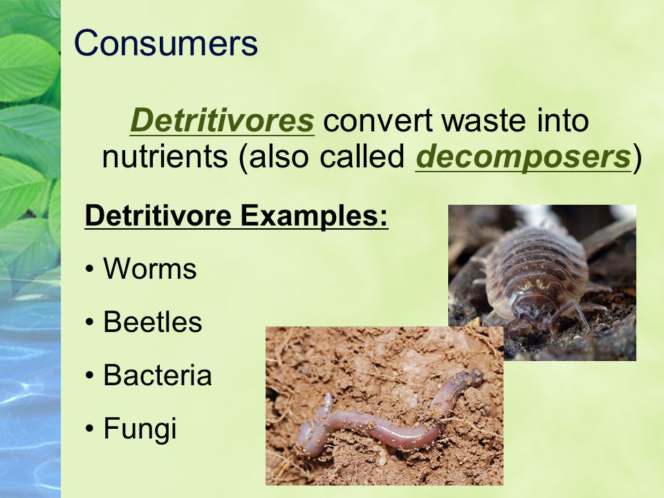 Consumers Detritivores convert waste into nutrients (also called decomposers) Detritivore Examples: Worms Beetles Bacteria Fungi