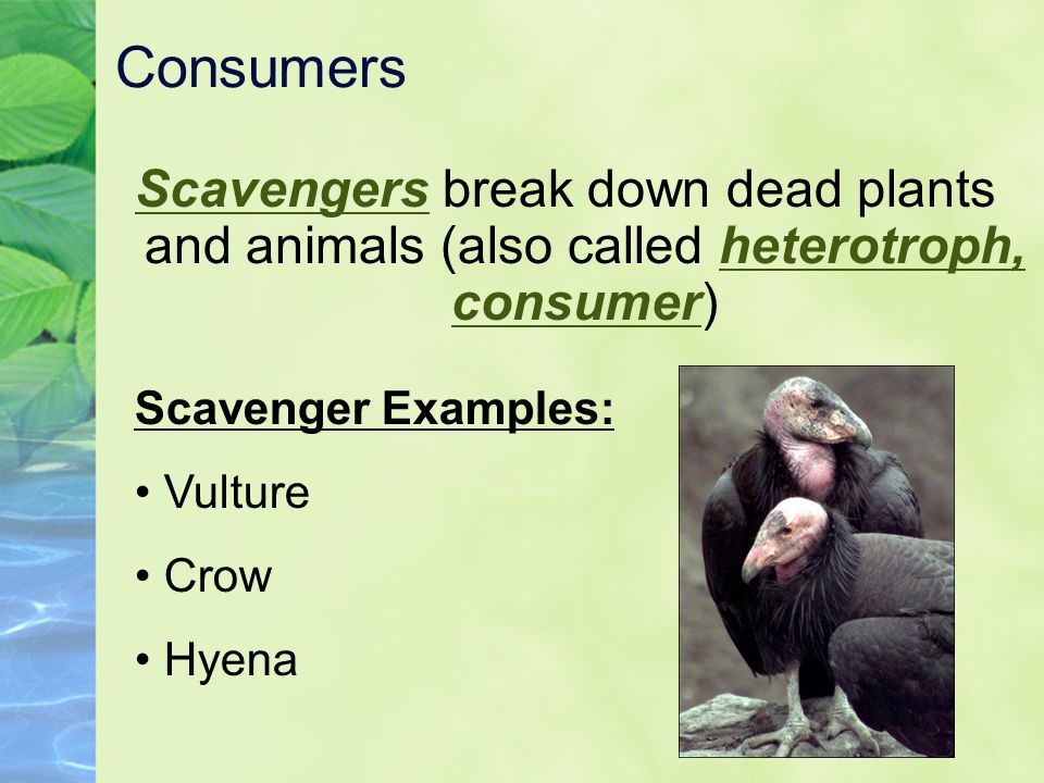Consumers Scavengers break down dead plants and animals (also called heterotroph, consumer) Scavenger Examples: Vulture Crow Hyena