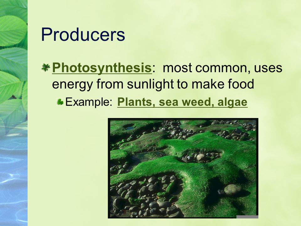 Producers Photosynthesis: most common, uses energy from sunlight to make food Example: Plants, sea weed, algae