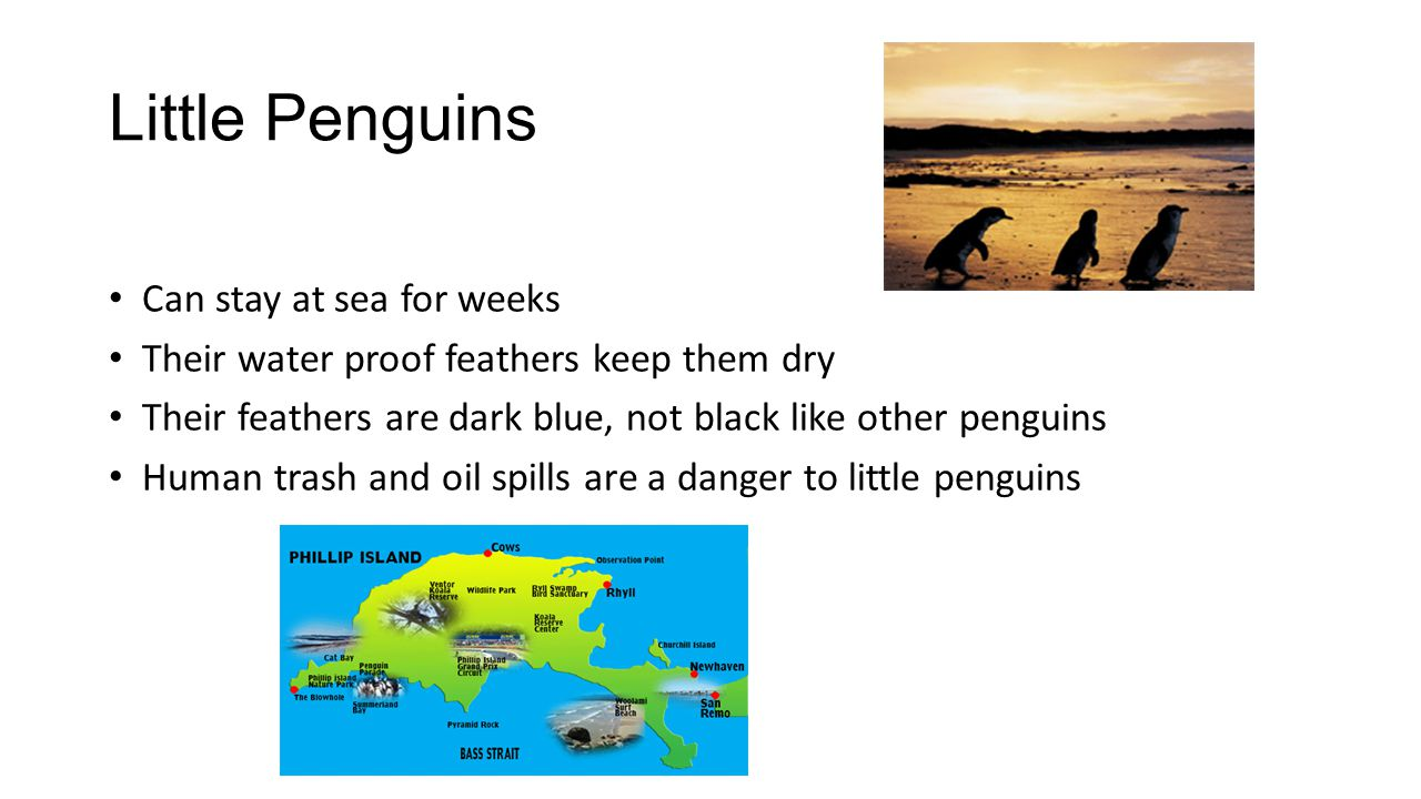 Little Penguins Can stay at sea for weeks Their water proof feathers keep them dry Their feathers are dark blue, not black like other penguins Human t