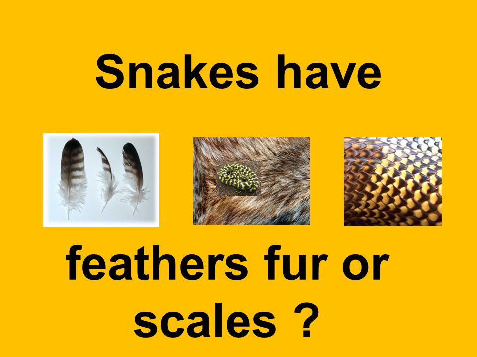 Snakes have feathers fur or scales