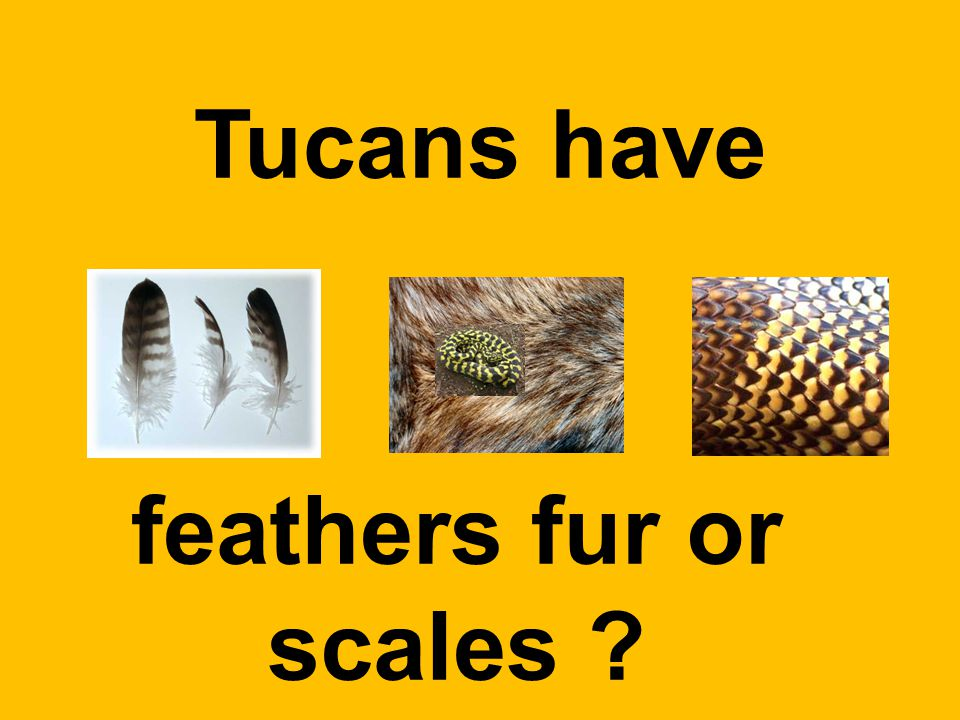 Tucans have feathers fur or scales
