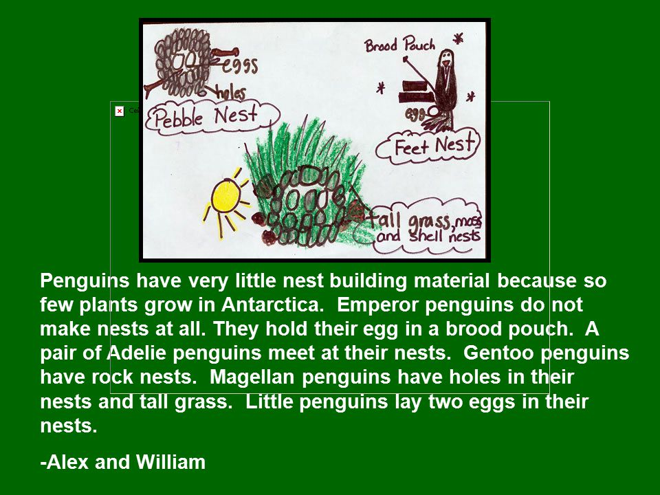 Penguins have very little nest building material because so few plants grow in Antarctica. Emperor penguins do not make nests at all. They hold their
