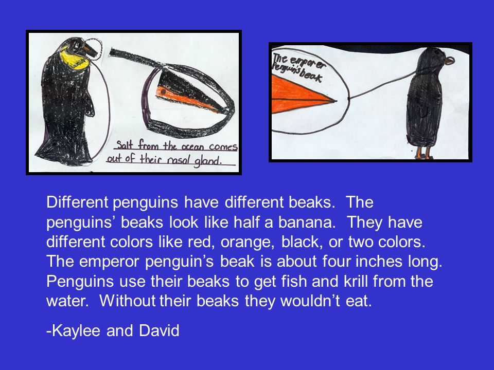 Different penguins have different beaks. The penguins' beaks look like half a banana. They have different colors like red, orange, black, or two color