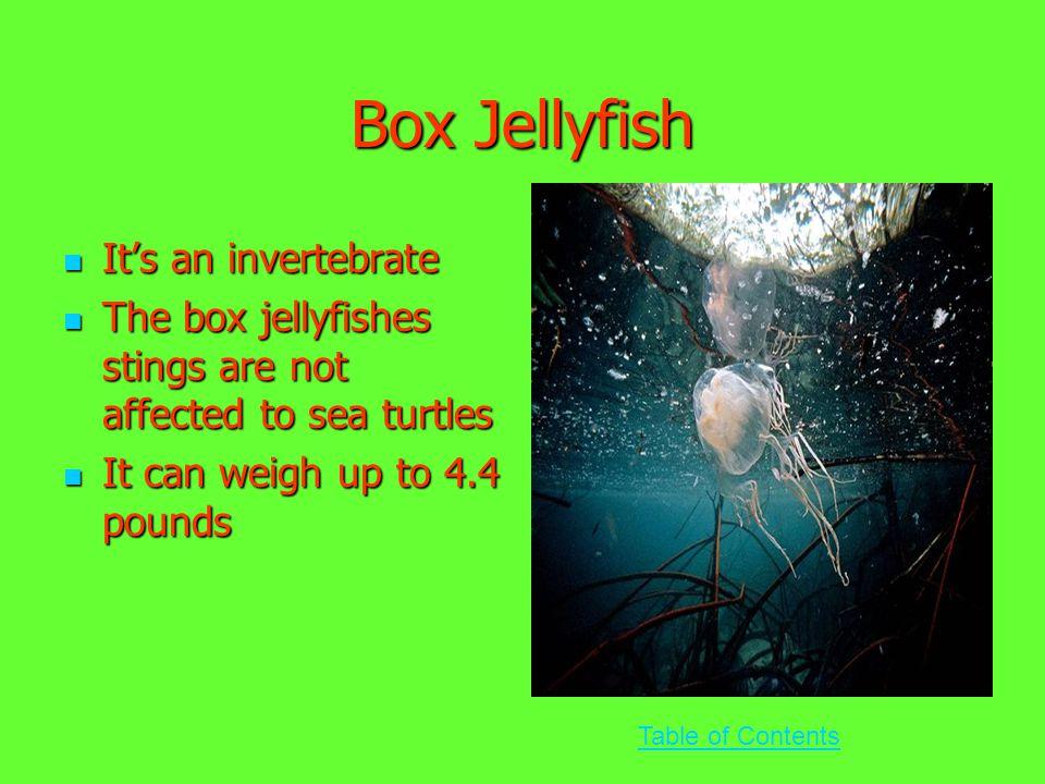 Box Jellyfish It's an invertebrate It's an invertebrate The box jellyfishes stings are not affected to sea turtles The box jellyfishes stings are not