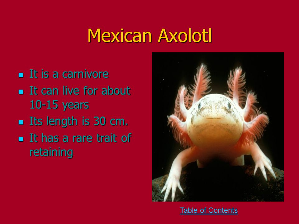 Mexican Axolotl It is a carnivore It is a carnivore It can live for about 10-15 years It can live for about 10-15 years Its length is 30 cm.