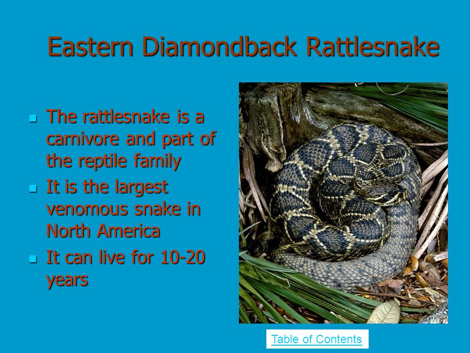 Eastern Diamondback Rattlesnake The rattlesnake is a carnivore and part of the reptile family The rattlesnake is a carnivore and part of the reptile f