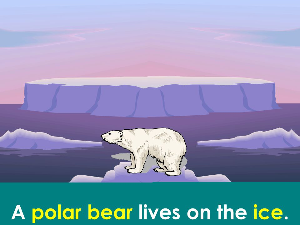 A polar bear lives on the ice.