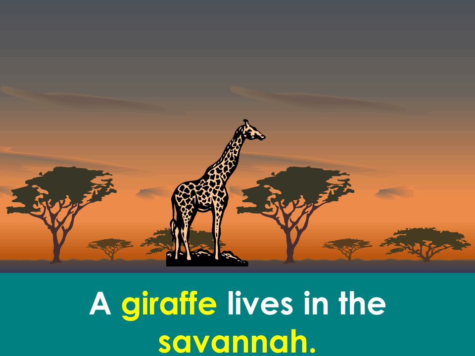 A giraffe lives in the savannah.