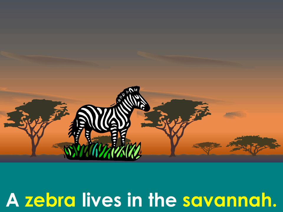 A zebra lives in the savannah.