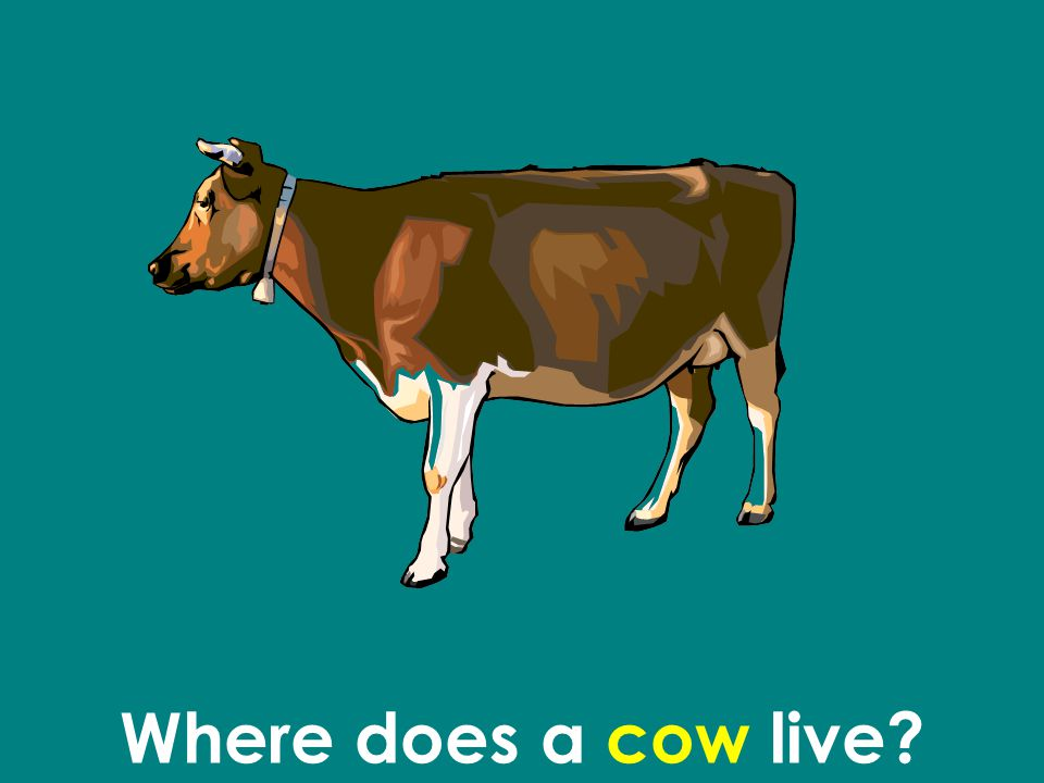 Where does a cow live
