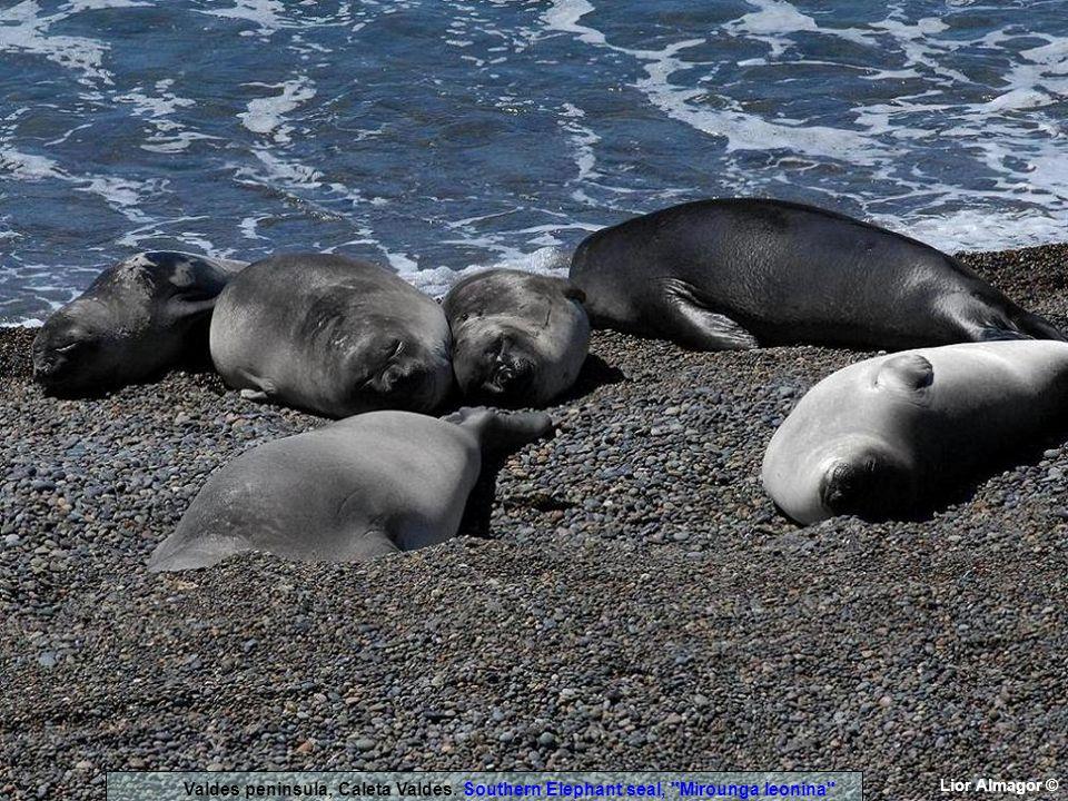 Lior Almagor © Valdes peninsula, Caleta Valdes. Southern Elephant seal, Mirounga leonina
