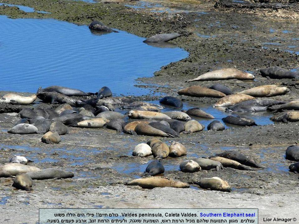 Lior Almagor © Valdes peninsula, Caleta Valdes. Southern Elephant seal.