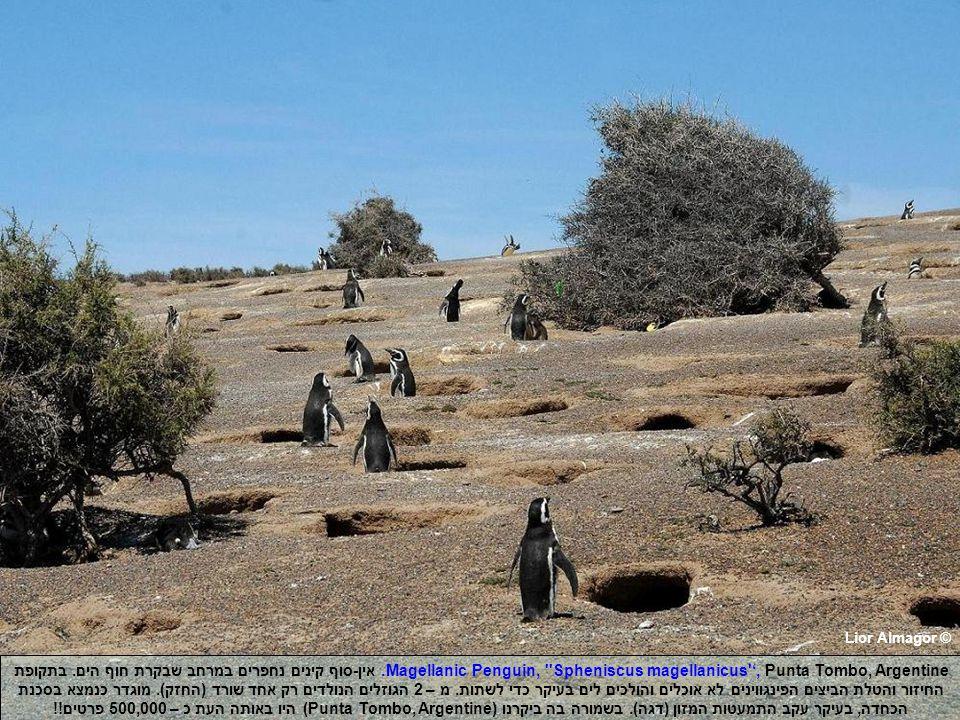 Lior Almagor © Magellanic Penguin, Spheniscus magellanicus ', Punta Tombo, Argentine.