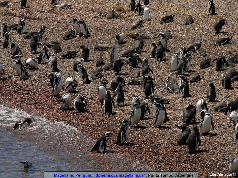 Lior Almagor © Magellanic Penguin, Spheniscus magellanicus ', Punta Tombo, Argentine