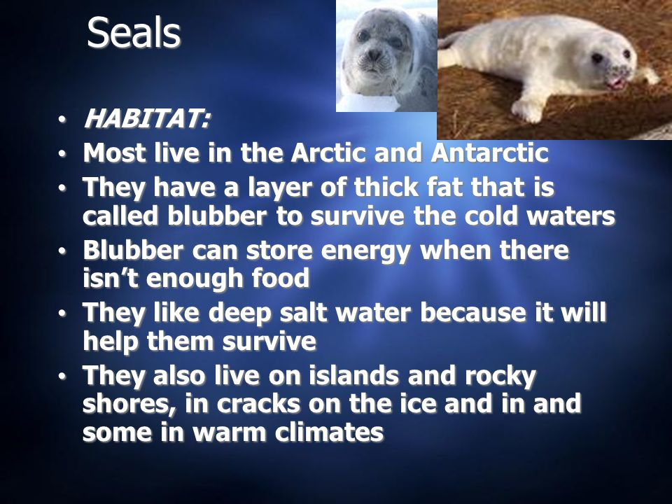 Seals HABITAT: Most live in the Arctic and Antarctic They have a layer of thick fat that is called blubber to survive the cold waters Blubber can store energy when there isn't enough food They like deep salt water because it will help them survive They also live on islands and rocky shores, in cracks on the ice and in and some in warm climates HABITAT: Most live in the Arctic and Antarctic They have a layer of thick fat that is called blubber to survive the cold waters Blubber can store energy when there isn't enough food They like deep salt water because it will help them survive They also live on islands and rocky shores, in cracks on the ice and in and some in warm climates