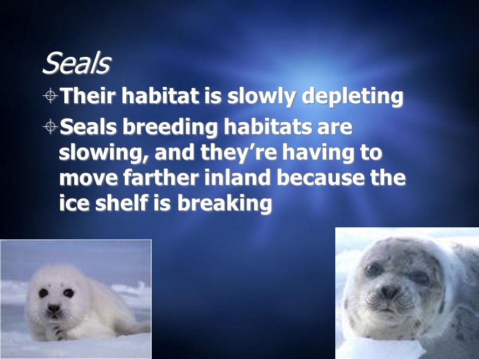 Seals  Their habitat is slowly depleting  Seals breeding habitats are slowing, and they're having to move farther inland because the ice shelf is br