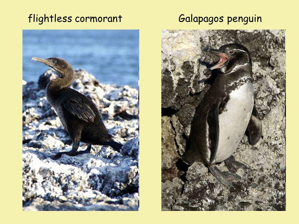 flightless cormorantGalapagos penguin