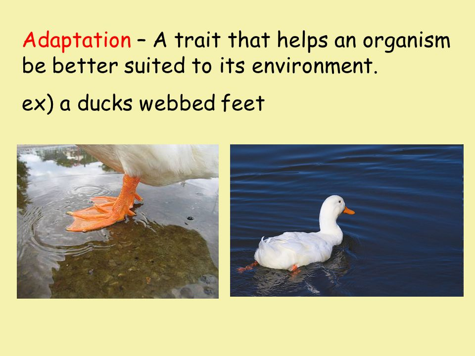 Adaptation – A trait that helps an organism be better suited to its environment. ex) a ducks webbed feet
