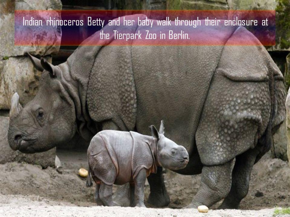 Giraffe mother Rahima licks her newborn at the Zoo Dortmund in Germany.