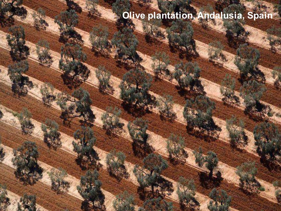 Olive plantation, Andalusia, Spain