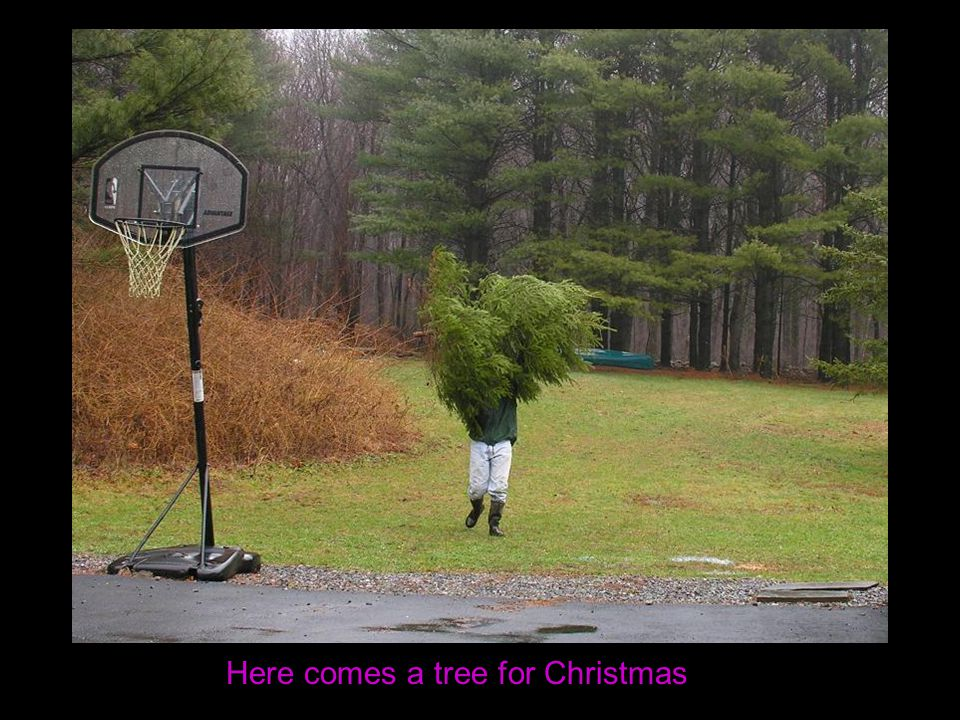 Here comes a tree for Christmas