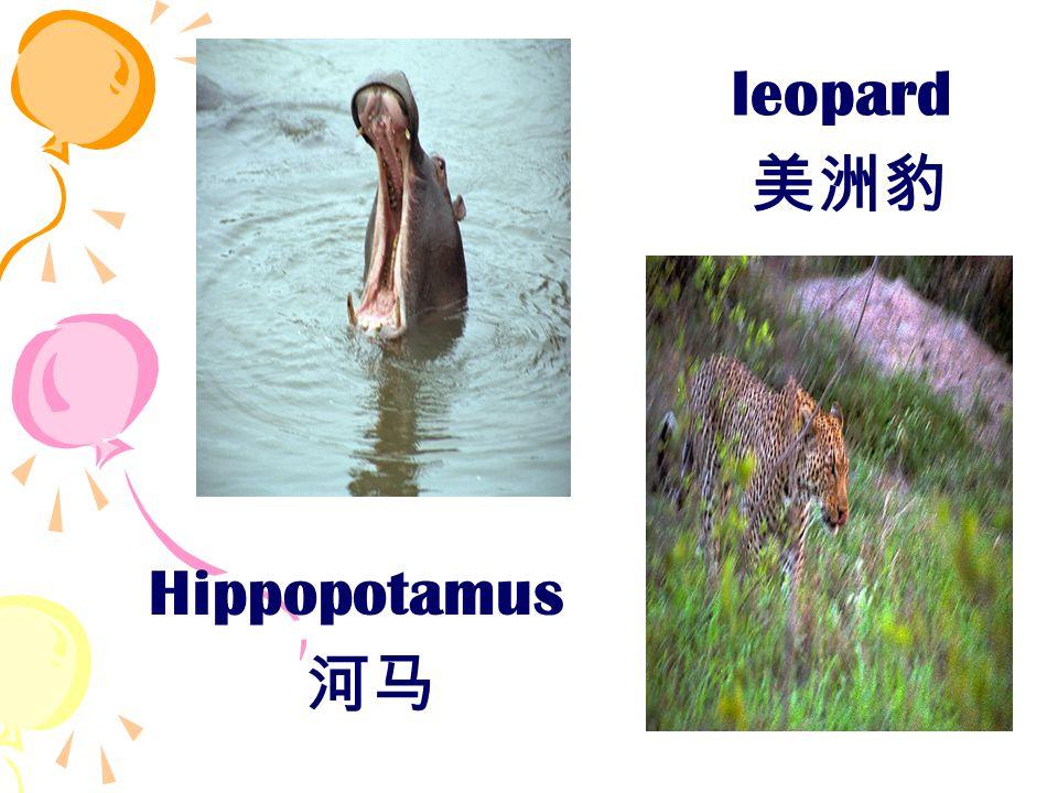 Hippopotamus 河马 leopard 美洲豹