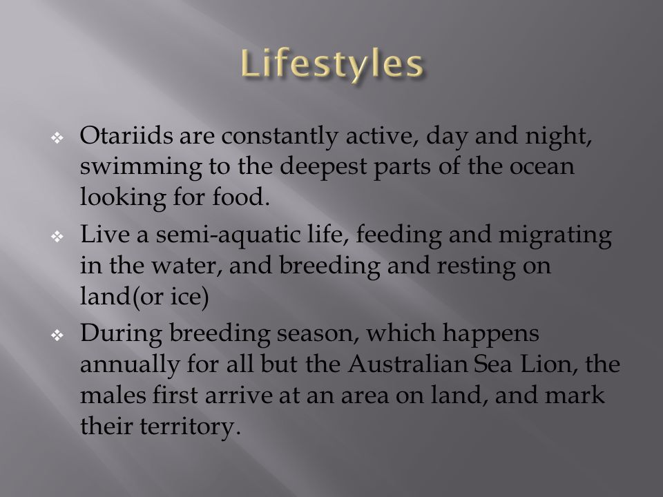  Otariids are constantly active, day and night, swimming to the deepest parts of the ocean looking for food.