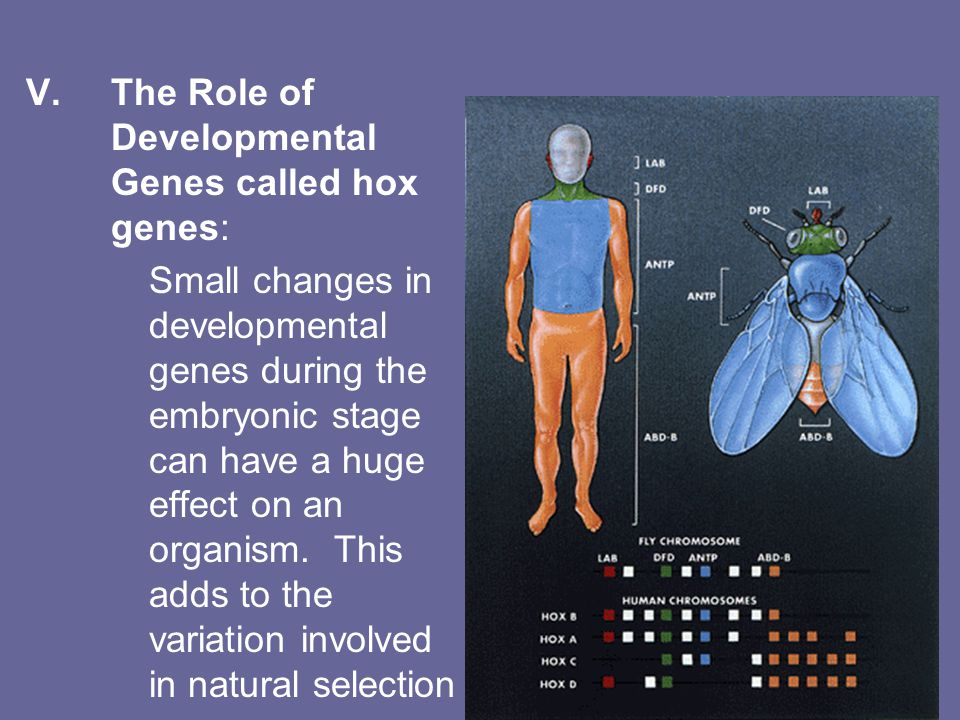 V.The Role of Developmental Genes called hox genes: Small changes in developmental genes during the embryonic stage can have a huge effect on an organism.