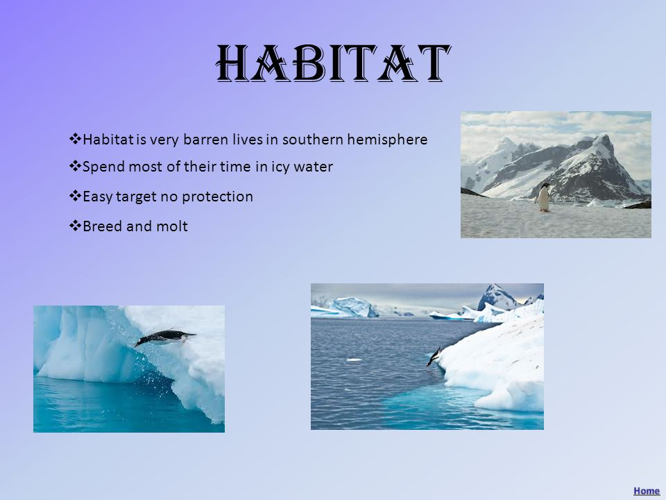 habitat HHabitat is very barren lives in southern hemisphere SSpend most of their time in icy water EEasy target no protection BBreed and molt