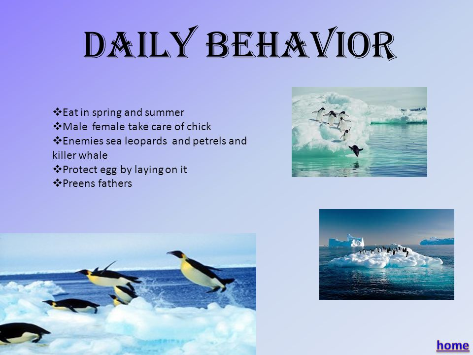 Daily Behavior EEat in spring and summer MMale female take care of chick EEnemies sea leopards and petrels and killer whale PProtect egg by laying on it PPreens fathers