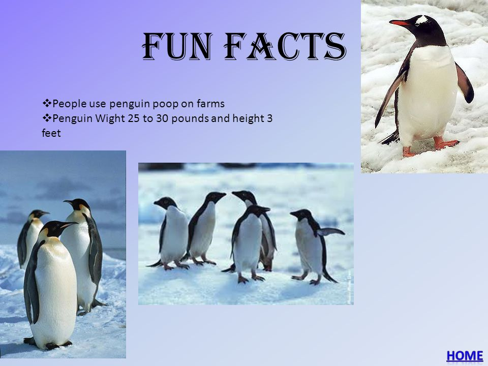 Fun facts  People use penguin poop on farms  Penguin Wight 25 to 30 pounds and height 3 feet