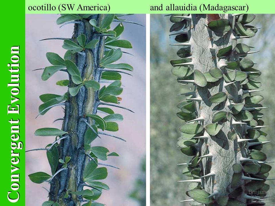 ocotillo (SW America) and allauidia (Madagascar) Convergent Evolution