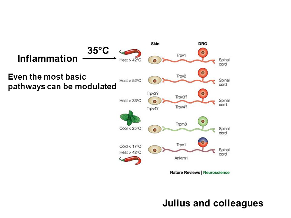 Even the most basic pathways can be modulated Inflammation 35°C Julius and colleagues