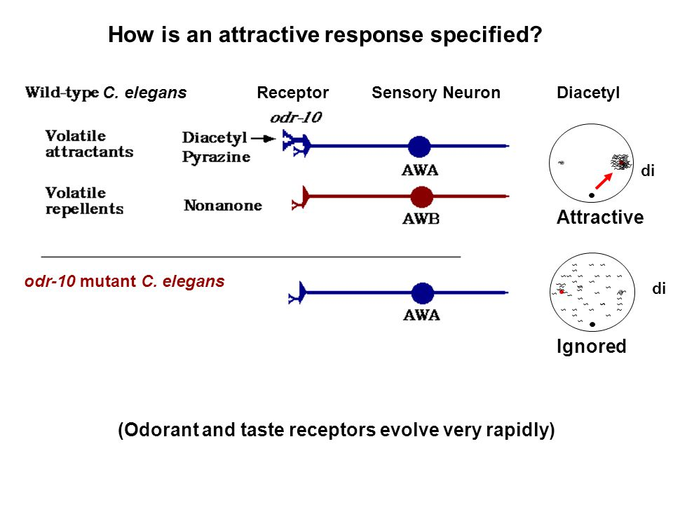 Repulsive di ODR-10(AWB) C. elegans How is an attractive response specified? Diacetyl Attractive di C. elegansReceptorSensory Neuron odr-10 mutant C.