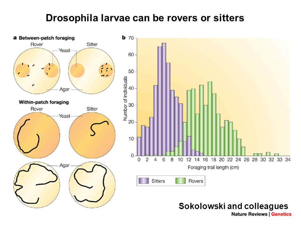 Drosophila larvae can be rovers or sitters Sokolowski and colleagues