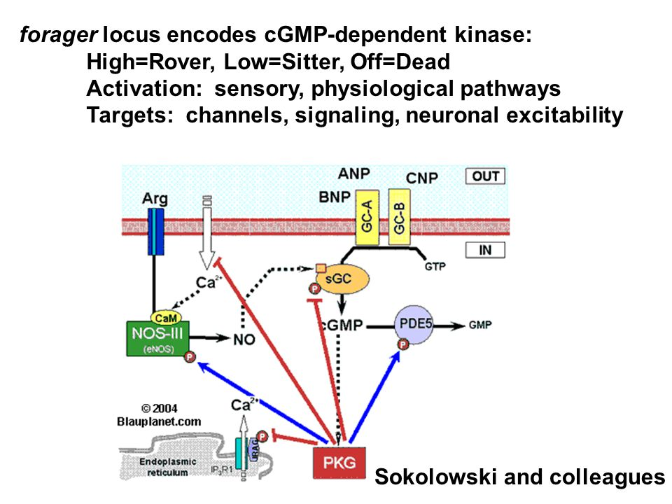 forager locus encodes cGMP-dependent kinase: High=Rover, Low=Sitter, Off=Dead Activation: sensory, physiological pathways Targets: channels, signaling