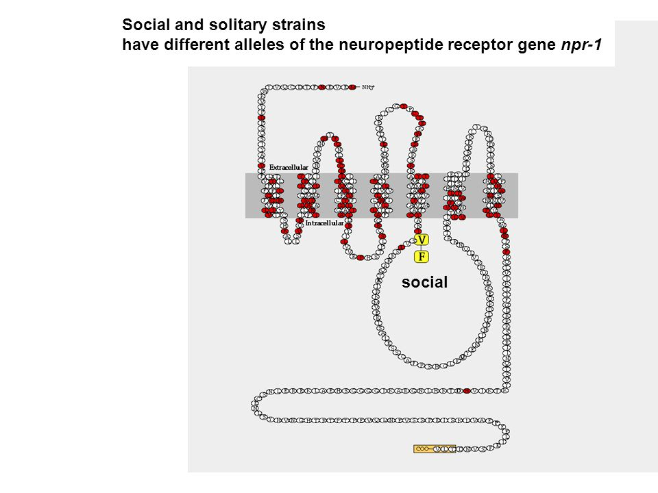 social Social and solitary strains have different alleles of the neuropeptide receptor gene npr-1