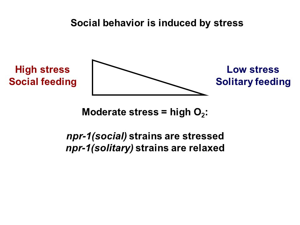 High stress Social feeding Moderate stress = high O 2 : npr-1(social) strains are stressed npr-1(solitary) strains are relaxed Low stress Solitary feeding Social behavior is induced by stress